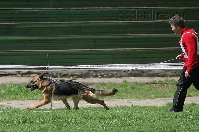 немецкая овчарка IMG_5965 IMG_5965