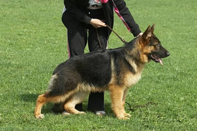 немецкая овчарка IMG_6033 IMG_6033