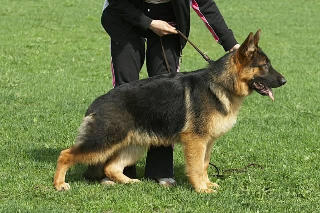 немецкая овчарка IMG_60331 IMG_60331