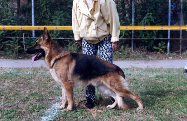 немецкая овчарка Чёрная  Легенда  БАЛОР, !.5 года, 96 год 065